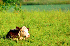 Countryside in the morning cow Royalty Free Stock Images