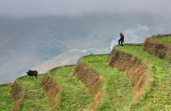 Countryside, mountain landscape, lonely rural shepherd in rice t Stock Photography