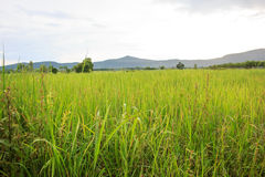 Countryside with mountain view. And rice farm Stock Photography