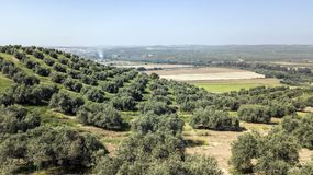 Countryside of the olive trees near mengibar, province of Jaen,. Spain Royalty Free Stock Photos