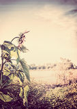 Countryside outdoor nature background with sunflower. Summer or fall nature stock photo