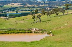 Countryside paddock with sheep near the dam, lake on sunny day Stock Images
