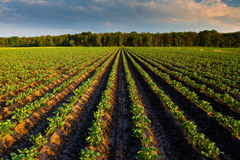 Countryside with potato field Stock Images