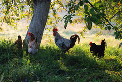 Countryside with poultry. Cock and hens pasture in green grass under the tree. In the background there is a sunlit country yard blurred Stock Photography