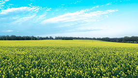 Countryside Rapeseed Flower Field Stock Image
