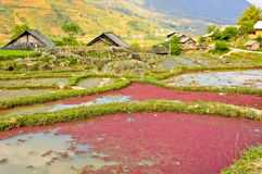 Countryside of rice crops Stock Photos