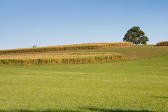 Countryside of ripe corn and one maple tree against blue sky Stock Images