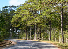 Countryside road with many pine trees in Dalat, Lam Dong, Vietnam Stock Photo