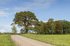 Countryside road with an old pine tree, Vidzeme, Latvia Stock Photos