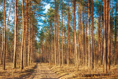 Countryside road, path, walkway through autumn forest. Sunset Su Royalty Free Stock Photo
