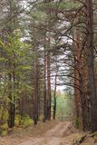 Countryside road in the pine forest at autumn stock images