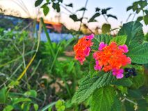 Countryside`s wildlife flowers. Photographed by iPhone 6 Plus Stock Photography