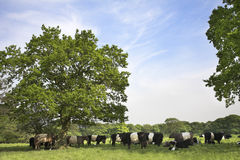Countryside scene with Belted Galloway cattle. English countryside scene with Belted Galloway cattle and calves. Parbold, Lancashire Stock Images