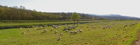 Countryside with sheep flock - panorama Stock Photo
