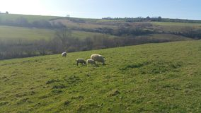 Countryside. Sheep grazing in the fields in somerset Stock Photo