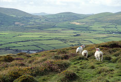 Countryside and sheeps in Ireland Stock Images