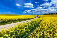 Countryside spring field landscape with yellow flowers - rape. Blue sky, rural way Royalty Free Stock Photo