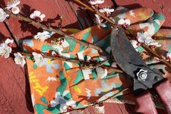 Countryside still life. Garden secateurs, branches of flowering apricot on garden colored gloves Royalty Free Stock Photos