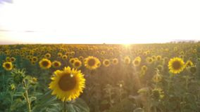 Countryside summer blurring landscape, Sunflower field during sunset. Blurring landscape of Sunflower field during sunset, Amazing beautiful background stock video footage