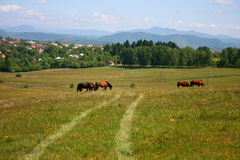 Countryside summer landscape with grazing horses Royalty Free Stock Image