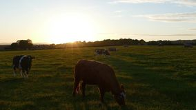 Countryside sunset with cows in the front 4K stock video