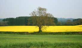 Countryside TREE Stock Photography