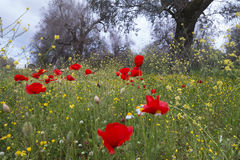Countryside with trees and poppies in Windy Day. Italy Stock Photos