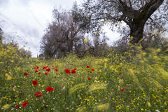 Countryside with trees and poppies in Windy Day. Italy Royalty Free Stock Image