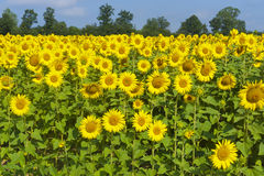 Countryside in Tuscany, sunflowers Royalty Free Stock Image