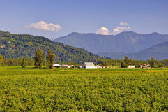 Countryside view: blueberry fields, barns, and mountains Royalty Free Stock Photography