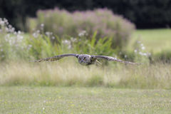 Countryside view of a Eurasian (European) eagle owl in low fligh Stock Images