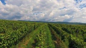 Countryside Vineyard Agriculture Landscape Winery Harvest Ukraine Europe. 4k stock footage