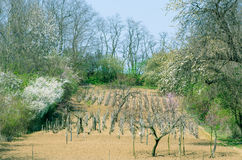 Countryside vineyard Royalty Free Stock Photos