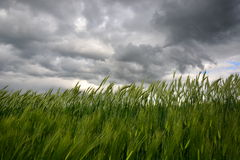 Countryside with wheat field and ominous stormy sky Stock Images
