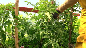Countrywoman hand bind large tomato bush to stick stock video footage