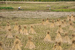 Countrywoman working in the field on background of straw sheaves Royalty Free Stock Photo