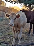 County cow stock photography
