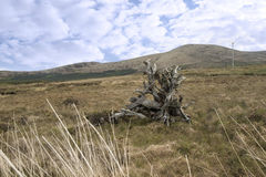 County Kerry bog oak Stock Images