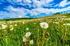 Coup-boules, pissenlits dans le pré avec le ciel bleu et nuages blancs images libres de droits