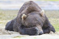 Coup d'oeil de grand ours brun Images libres de droits