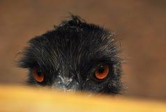 Coup d'oeil d'oiseau d'émeu - un oiseau d'émeu soulevant sa tête de la balustrade de barrière Photo stock