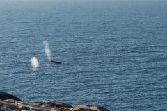 Coup de baleine de bosse de deux baleines de surfaçage photo libre de droits