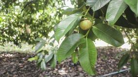 Coup de fruits de mangoustan sur l'arbre Image stock