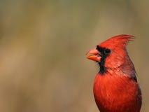 Coup de tête cardinal du nord Photographie stock