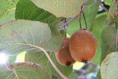 Coup frais de kiwi sur une branche photos stock
