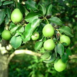 Coup frais de poires sur l'arbre Comment cultiver des poires dans le fruit faites du jardinage Fond de verger Image libre de droits