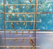 Coup nouveau-né de chrysalides de papillon sur le bâton en bois Photographie stock libre de droits