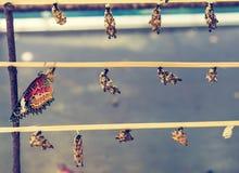Coup nouveau-né de chrysalides de papillon sur le bâton en bois Image libre de droits