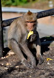 Coup Saen, Thaïlande : Singe mangeant la banane Photos stock