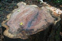Coupe d'arbre Photos libres de droits